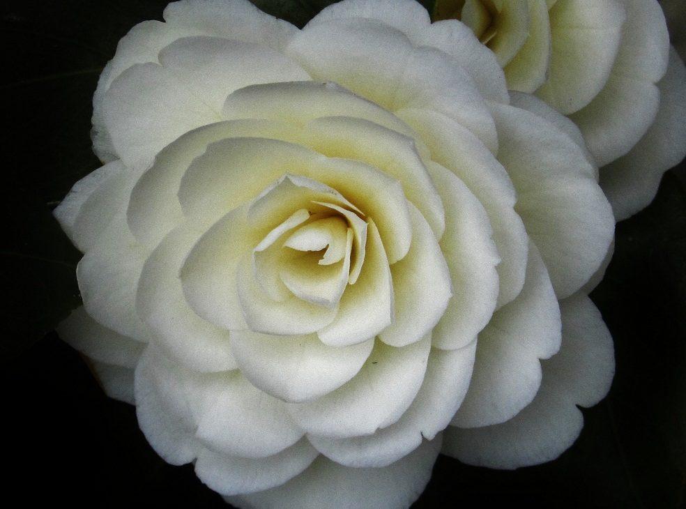 Galería De Imágenes: Flores De Camelias